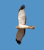 Northern Harrier (2)