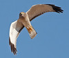 Northern Harrier (1)