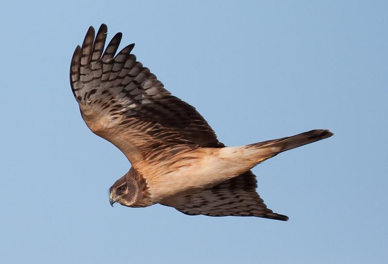 N Harrier Ormond_07-12-03_0003