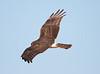 N Harrier Ormond_07-12-03_0004