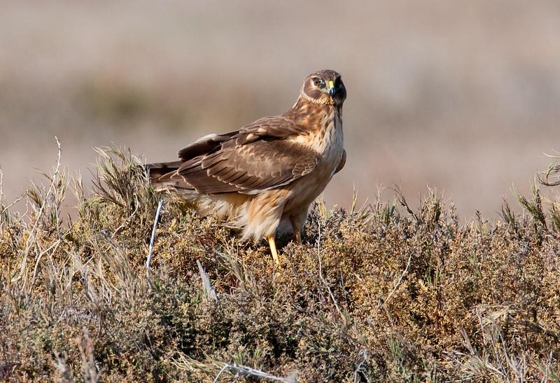 Adult Female, Arnold Rd., Port Hueneme, CA
