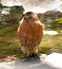 Red-shouldered hawk_07-04-09_0001