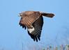 RedtailHawk CLU201011157I2B2587