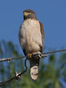 Roadside Hawk_334_08-05-05