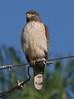 Roadside Hawk_334_08-05-05