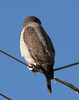 Roadside Hawk (4)_333_08-05-05
