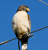 Roadside Hawk (2)_331_08-05-05