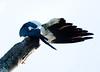 Swallow-tail_kite_FBuenaVista_09_02_24_4962_6