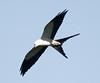 Swallow-tail_kite_FBuenaVista_09_02_24_4989_27