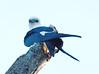 Swallow-tail_kite_FBuenaVista_09_02_24_4982_26