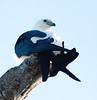 Swallow-tail_kite_FBuenaVista_09_02_24_4969_13