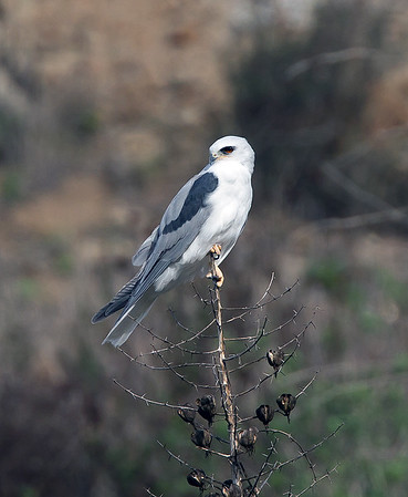 whit-tailed kite2