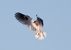 White-tailed Kite5