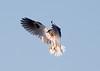 White-tailed Kite5