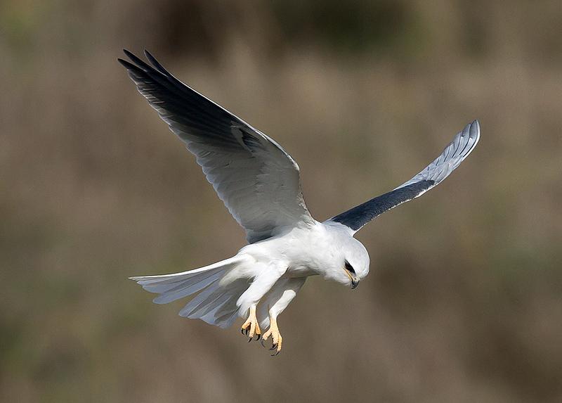 whit-tailed kite1