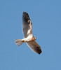 White-tailed Kite4