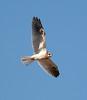White-tailed Kite4