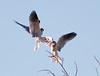 White-tailed Kite2