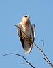 White-tailed Kite3