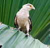 Yellow Head Caracara_018