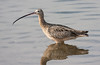Long-Billed Curlew BolsaChica_07-12-30_0001