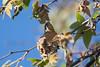 BlkHedGrosBeak Satwiwa_7I2B5312_2011-04-28-08-40-11
