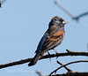 Blue Grossbeak22