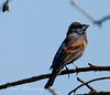 Blue Grossbeak23
