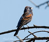 Blue Grossbeak24