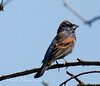 Blue Grossbeak21