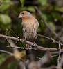 HouseFinch BkYrd_08_November_22_005