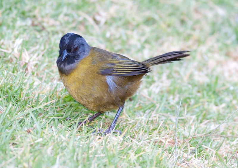 LargeFootedFinch CR_1_02-22-06