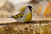 LawrencesGoldfinch BotGard_10-01-12_27