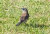 LazuliBunting 29PalmsInn_10_05-07-06