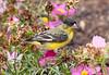 LesserGoldfinch_BkYrd_09-05-30-0049_090530_89