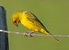 lesser grass finch (1)_239_08-05-05
