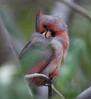 Cardinal Tucson_10-10-23_IMG_2350