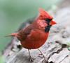 Cardinal_CentPark_09-07-10-0033_090710_33
