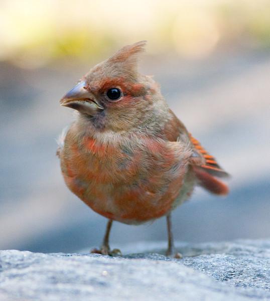 Cardinal_CentPark_09-07-10-0017_090710_17