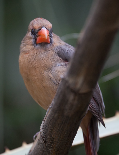 Cardinal Tucson_10-10-23_0002