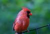 Cardinal_CentPark_09-07-10-0028_090710_28