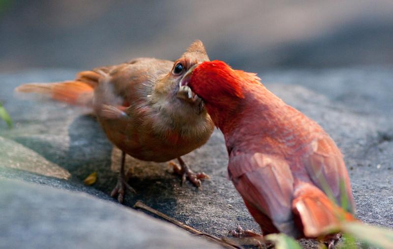Cardinal_CentPark_09-07-10-0020_090710_20