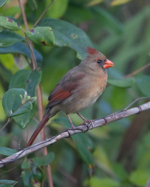 Cardinal CorkscrewSwampFL_7I2B3787_11-02-01