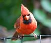 Cardinal_CentPark_09-07-10-0037_090710_37