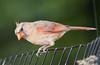 Cardinal_CentPark_09-07-11-0004_090711_63