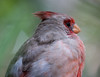 Cardinal Tucson_10-10-23_IMG_2366