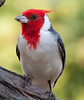 Red-Crested Cardinal_06-08-14_0011