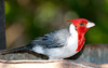 Red-Crested Cardinal_06-08-12_0021