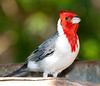Red-Crested Cardinal_06-08-12_0001