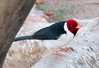 Red-Crested Cardinal_06-08-14_0004